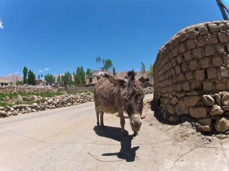 Lonely donkeys litter the town of Leh.