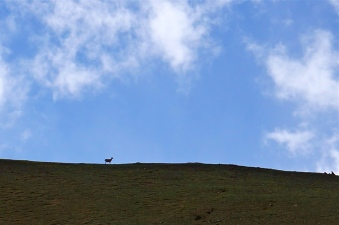 Local Blue sheep on the ridge above base camp